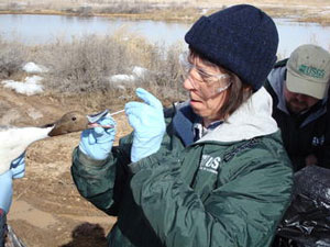 USGS Scientist Takes a Sample from a Northern Pintail Duck